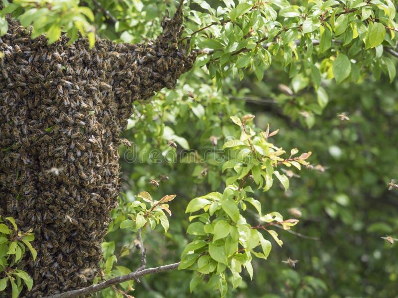 Fermez-vous vers le haut de la ruche sauvage avec le groupe ou l'essaim des abeilles sur la branche d'arbre photos libres de droits