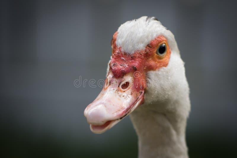 Fermez-vous vers le haut de la tête animale de portrait du canard blanc de femelle de muscovy photo stock
