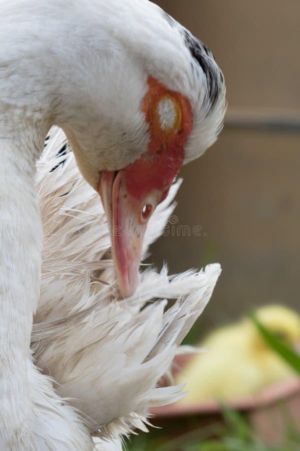 Fermez-vous vers le haut de la tête animale de portrait du canard blanc de femelle de muscovy photo libre de droits