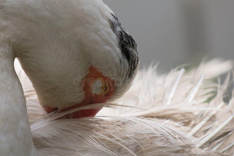 Fermez-vous vers le haut de la tête animale de portrait du canard blanc de femelle de muscovy images stock