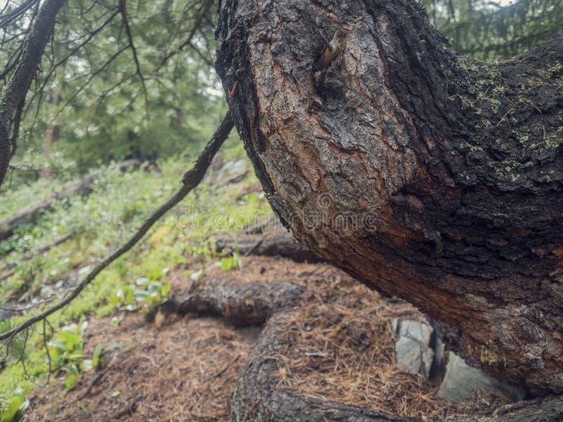 Fermez-vous vers le haut de la texture de l'écorce d'arbre de cèdre image stock
