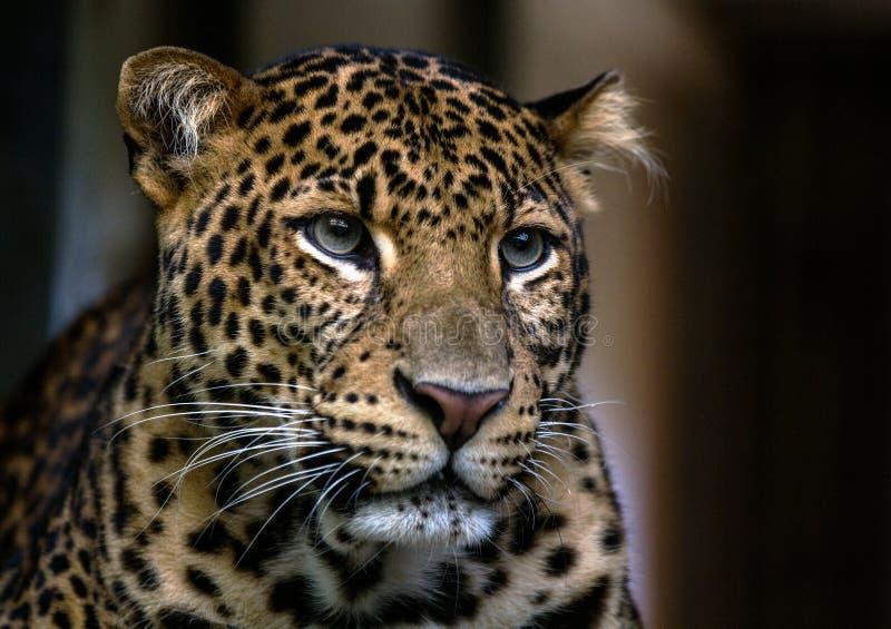 Fermez-vous vers le haut de la verticale du léopard images stock