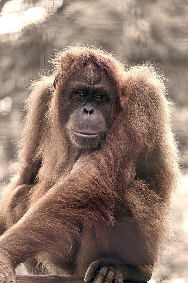 Fermez-vous vers le haut de la verticale L'orang-outan Utan, grande, velue femelle adulte a détendu et a regardé fixement pour di photographie stock