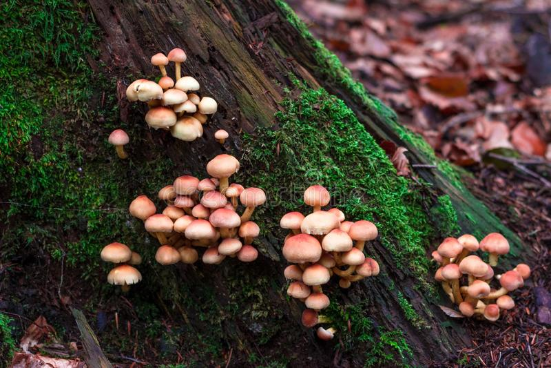 Fermez-vous vers le haut de la vue de beaucoup de champignons oranges s'élevant d'un fond de photographie stock libre de droits
