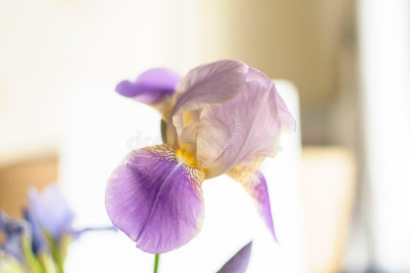 Fermez-vous vers le haut de la vue de la belle fleur bleue d'iris images libres de droits