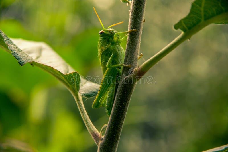 Fermez-vous vers le haut de la vue de côté de la sauterelle verte accrochant sur la petite pomme t photos libres de droits