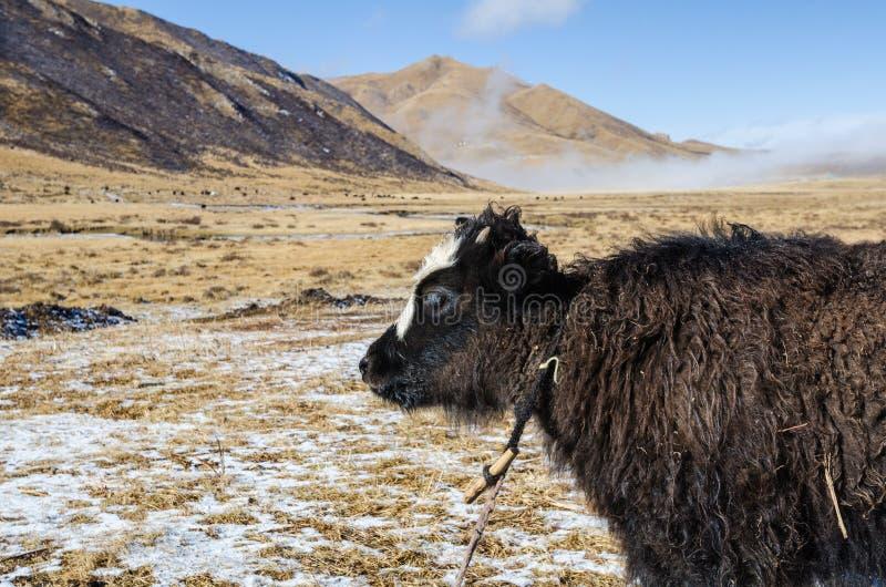 Fermez-vous vers le haut de la vue d'un jeune yak sur un pâturage tibétain des montagnes photos stock