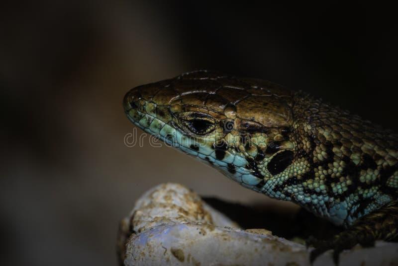 Fermez-vous vers le haut de la vue d'un reptile coloré photographie stock
