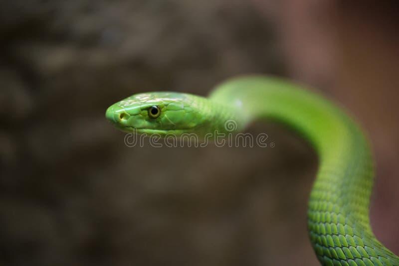 Fermez-vous vers le haut de la vue d'un serpent de mamba verte photos stock