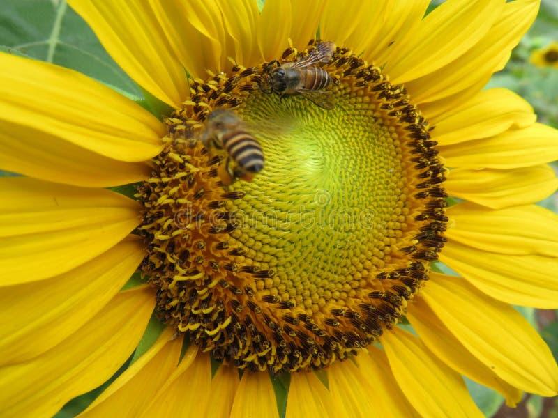 Fermez-vous vers le haut de la vue de gaffent l'abeille à l'intérieur de la fleur du soleil photos stock