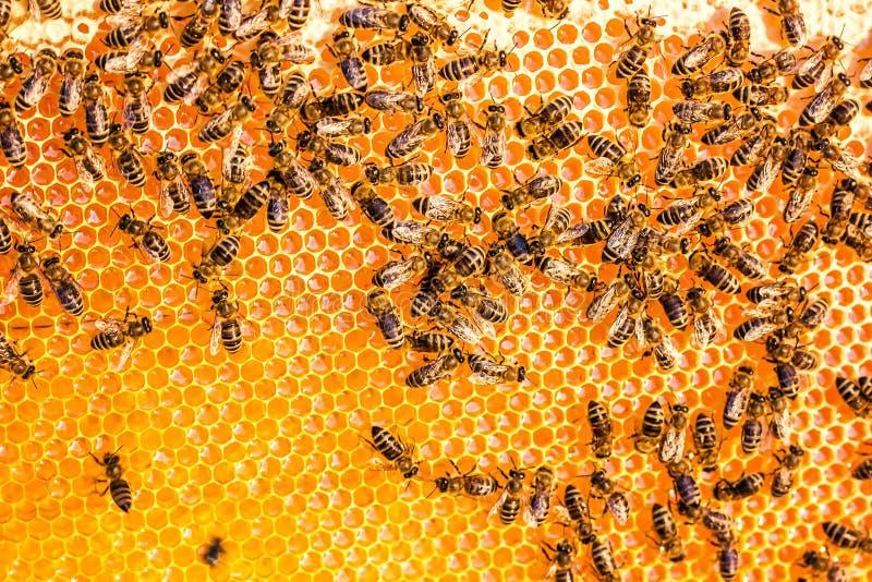 Fermez-vous vers le haut de la vue des abeilles de travail sur le nid d'abeilles dans le rucher avec du miel doux Le miel est pro image stock