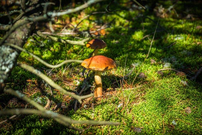Fermez-vous vers le haut de la vue de l'excellent champignon comestible de boletus parmi la forêt verte de hêtre de mousse et de  photo libre de droits