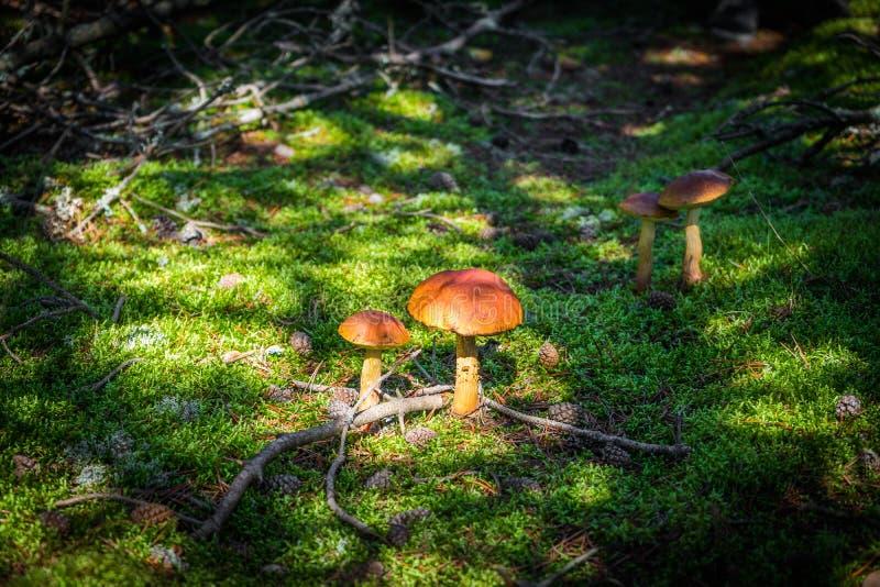 Fermez-vous vers le haut de la vue de l'excellent champignon comestible de boletus parmi la forêt verte de hêtre de mousse et de  images libres de droits