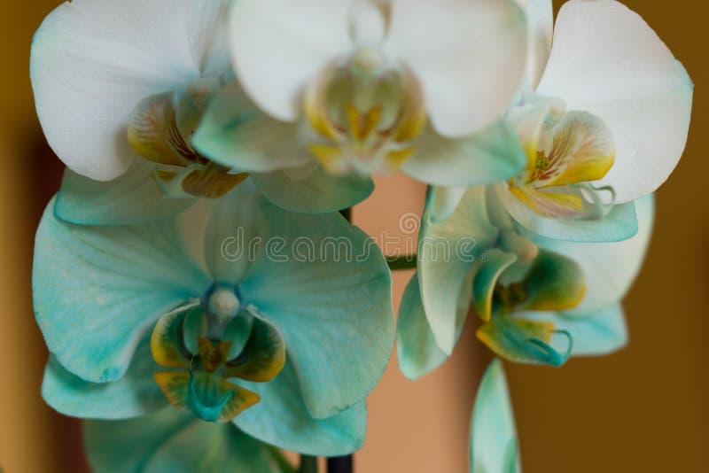 Fermez-vous vers le haut de la vue de l'usine d'orchidée bleue avec beaucoup de fleurs image libre de droits