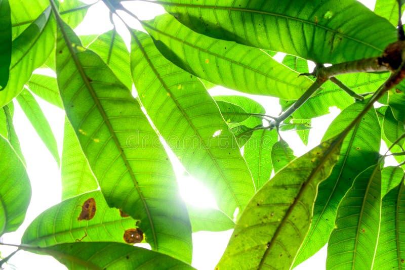 Fermez-vous vers le haut de la vue de nature de la feuille verte utilisant comme un fond ou un mur photo libre de droits