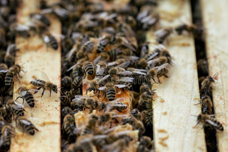Fermez-vous vers le haut de la vue de la ruche ouverte montrant les cadres peuplés par des abeilles de miel photo stock