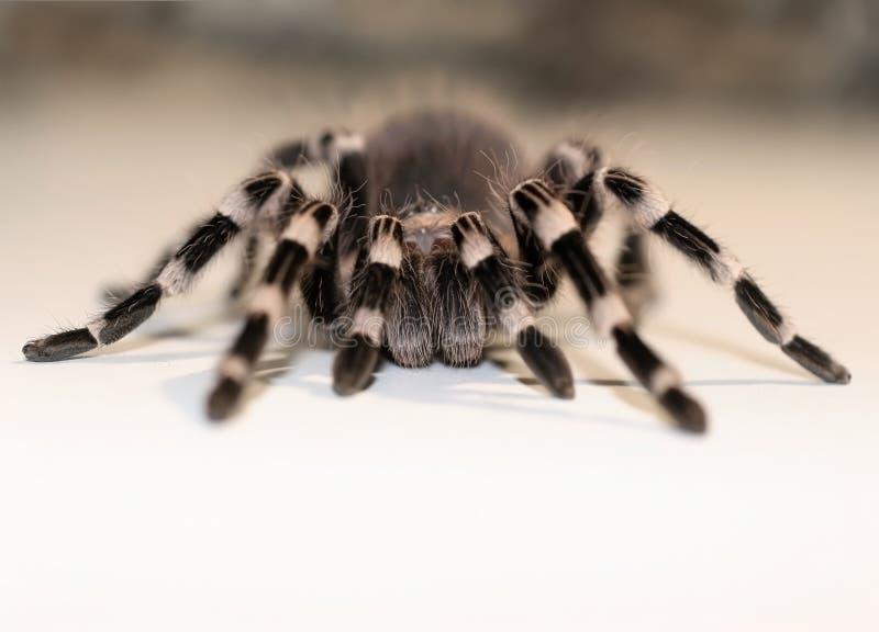 Fermez-vous vers le haut de la vue sur la grande araignée images libres de droits