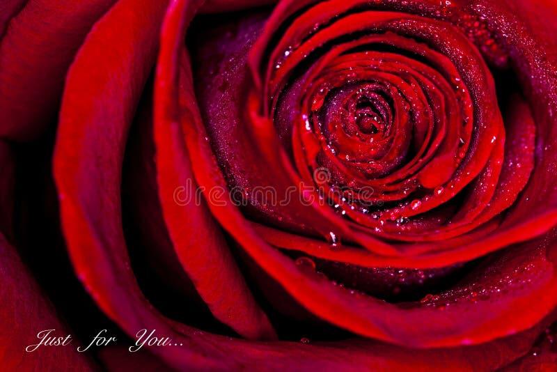 Fermez-vous vers le haut de Rose images libres de droits