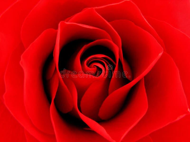 Fermez-vous vers le haut de Rose rouge photos stock