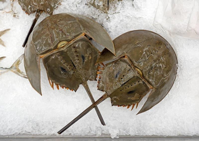 Fermez-vous vers le haut de Shell du crabe en fer à cheval sur la glace images libres de droits