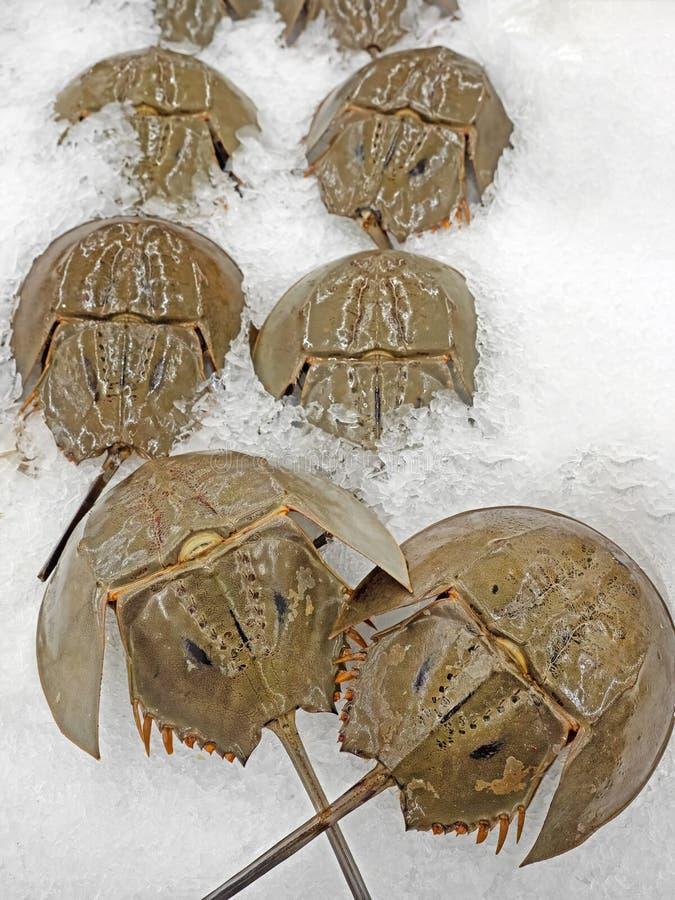 Fermez-vous vers le haut de Shell du crabe en fer à cheval sur la glace photo stock