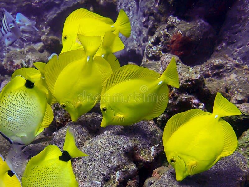 Fermez-vous vers le haut de Tang Tropical Fish School Feeding jaune sur la roche image stock