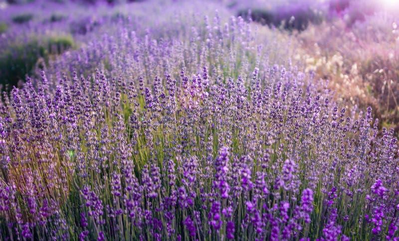 Fermez-vous vers le haut des buissons des fleurs aromatiques pourpres de lavande au gisement de lavande photographie stock libre de droits