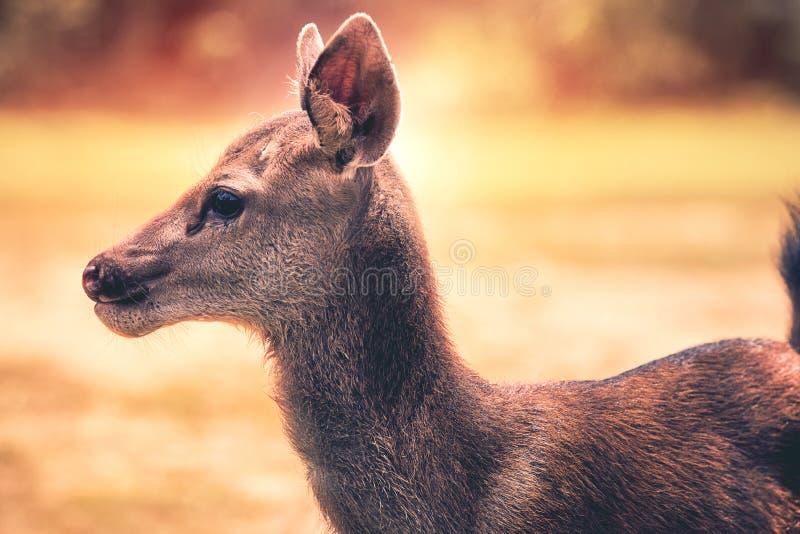 Fermez-vous vers le haut des cerfs communs de sambar de visage dans la région sauvage photos libres de droits