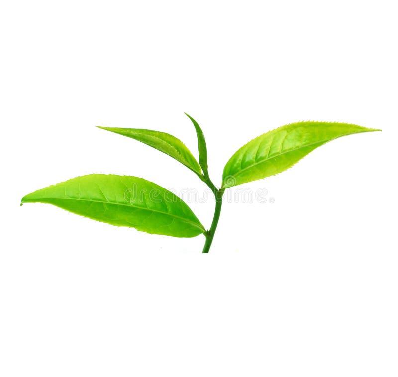 Fermez-vous vers le haut des feuilles de thé d'isolement sur le fond blanc photos libres de droits