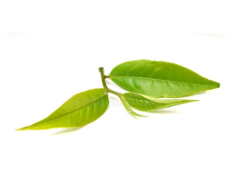 Fermez-vous vers le haut des feuilles de thé d'isolement sur le fond blanc photographie stock