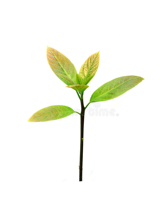 Fermez-vous vers le haut des feuilles de thé d'isolement sur le fond blanc image stock