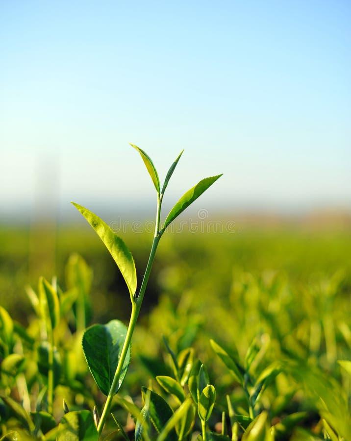 Fermez-vous vers le haut des feuilles de thé fraîches en lumière du soleil de matin. photographie stock