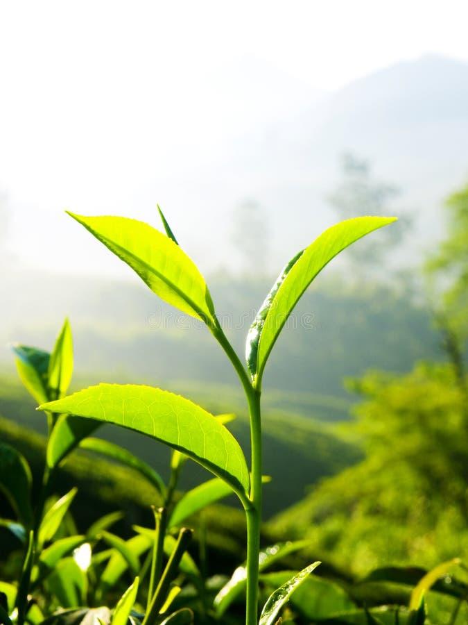 Fermez-vous vers le haut des feuilles de thé fraîches en lumière du soleil de matin photographie stock libre de droits