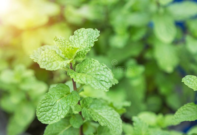 Fermez-vous vers le haut des feuilles vertes en bon état crues image stock