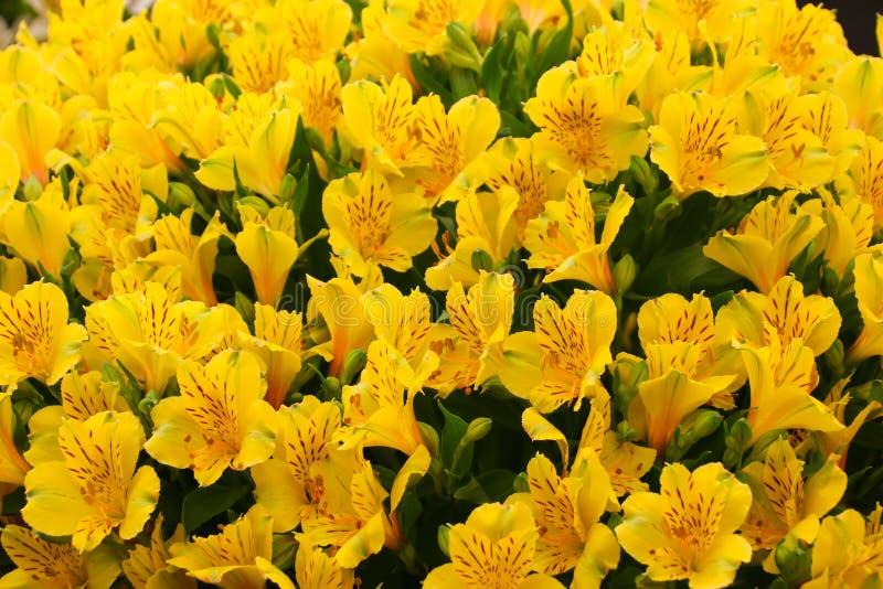 Fermez-vous vers le haut des fleurs d'Alstroemeria en pleine floraison photographie stock