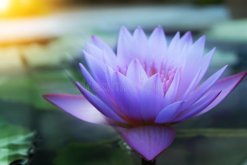 Fermez-vous vers le haut des fleurs de lotus images libres de droits