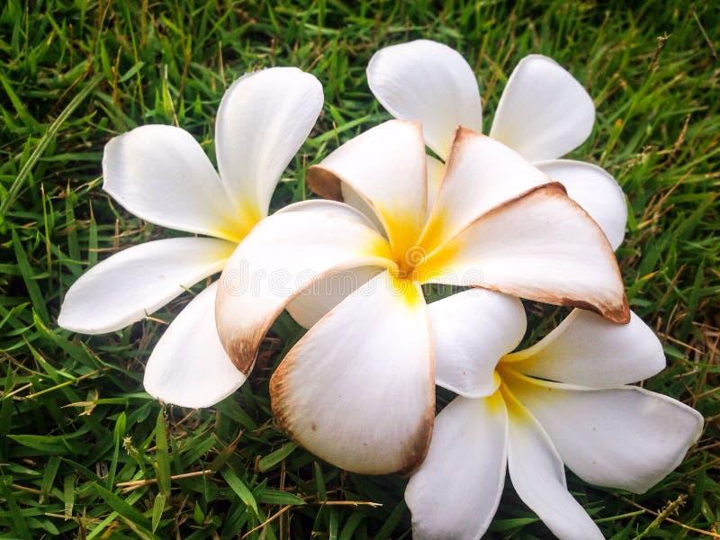 Fermez-vous vers le haut des fleurs de plumeria de différence sur le verre vert photographie stock