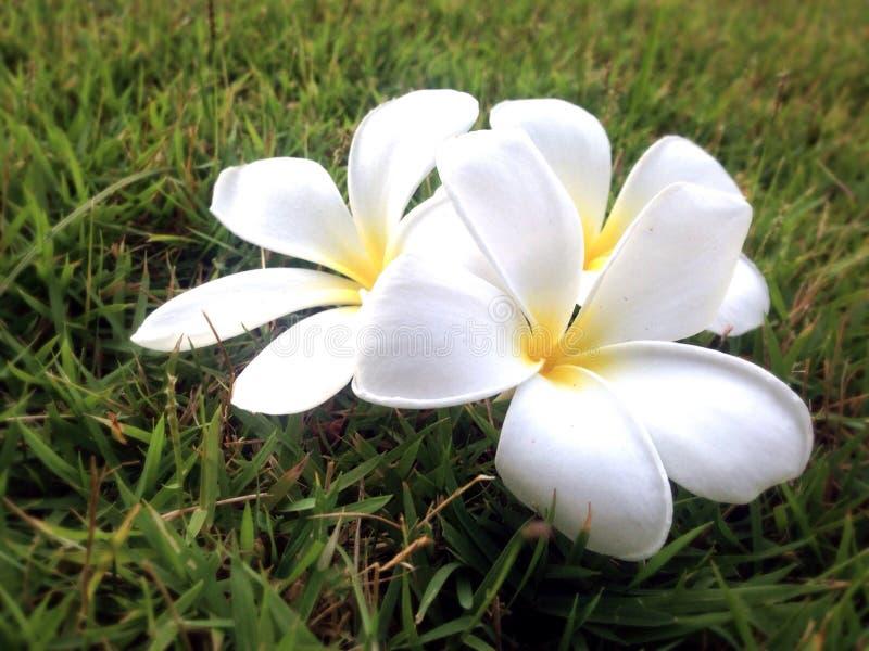 Fermez-vous vers le haut des fleurs de Plumeria sur le verre vert image stock
