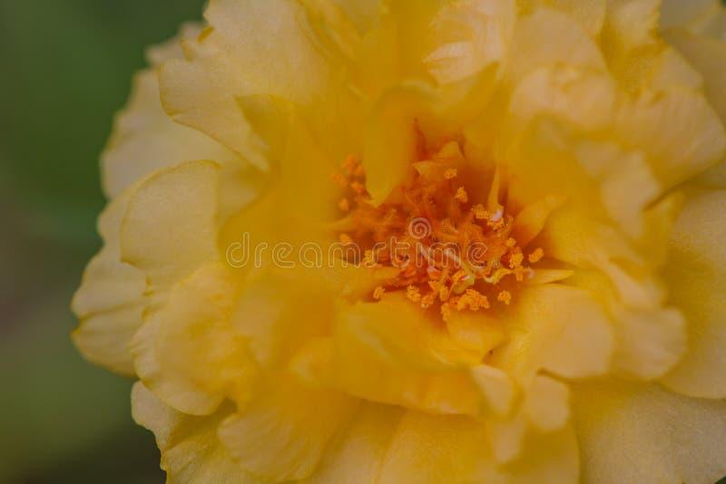 Fermez-vous vers le haut des fleurs de Portulaca photographie stock libre de droits
