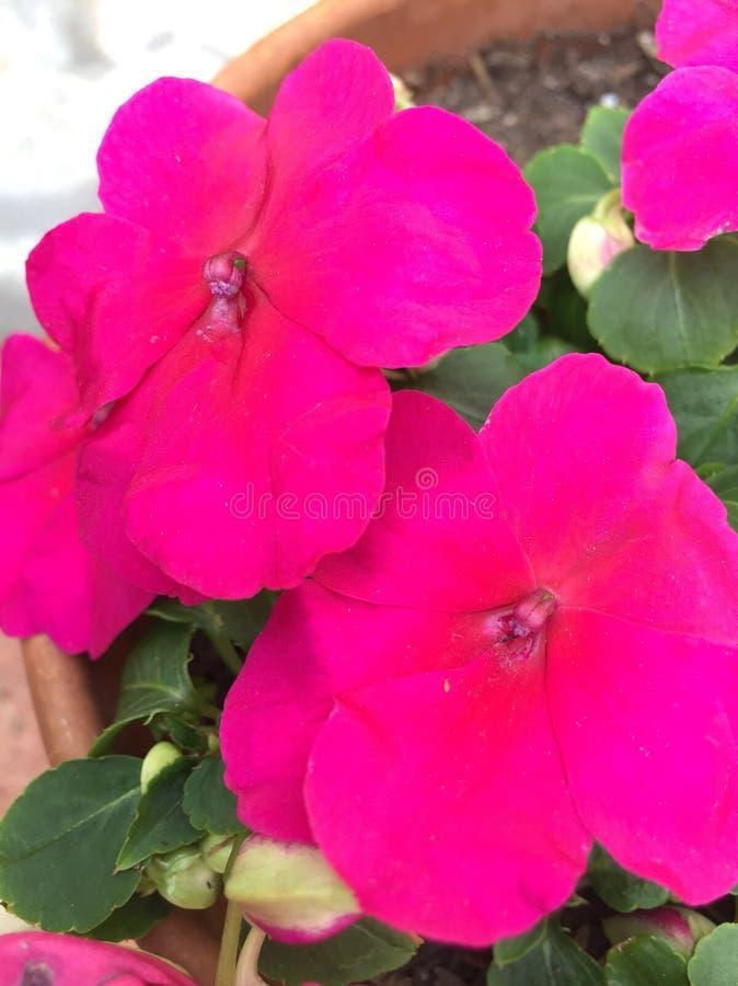 Fermez-vous vers le haut des fleurs roses photos stock