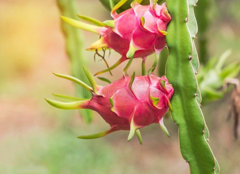 Fermez-vous vers le haut des fruits du dragon ou du fruit roses de pitaya ou de pitahaya accrochant sur l'arbre photo stock