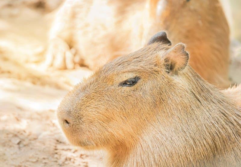 Fermez-vous vers le haut des hydrochaeris de hydrochoerus de Capybaras photographie stock