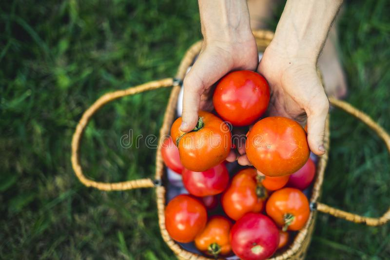 Fermez-vous vers le haut des mains avec les tomates organiques d'eco naturel dans le panier sur l'herbe photos libres de droits