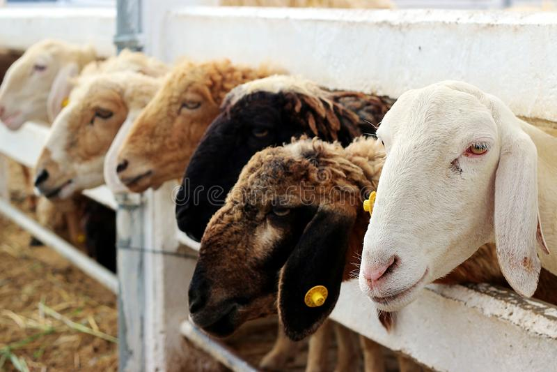 Fermez-vous vers le haut des moutons blancs photographie stock libre de droits