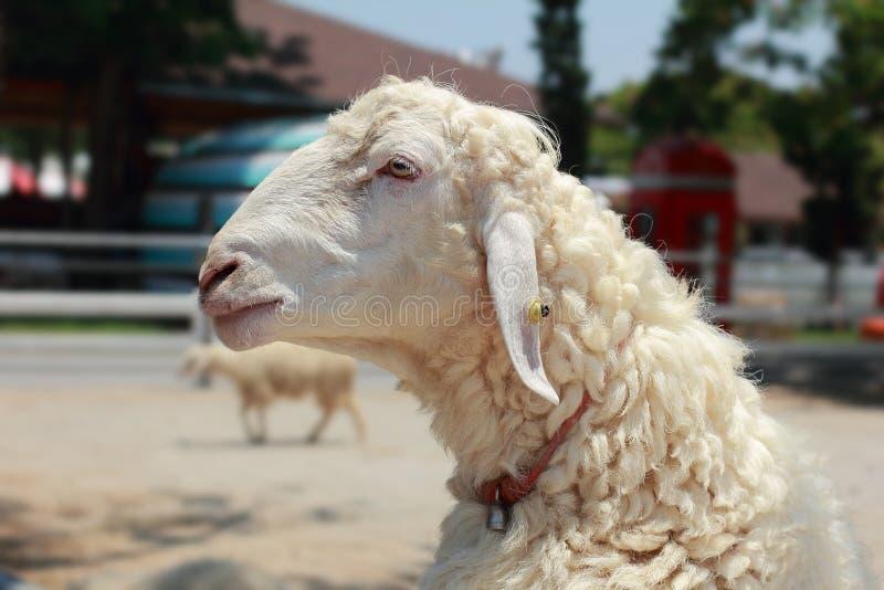 Fermez-vous vers le haut des moutons de tête de vue de côté, un portrait des moutons blancs d'isolement sur le fond photos stock