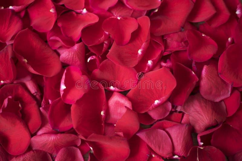 Fermez-vous vers le haut des pétales roses rouges Fond floral Photographie d'actions de rose de rouge Photographie de commerciali photo stock