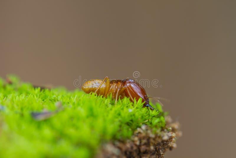 Fermez-vous vers le haut des termites ou des fourmis blanches détruits photos stock