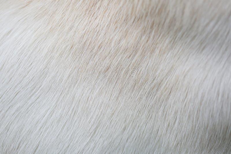 Fermez-vous vers le haut des textures de fourrure de chien de laboratoire de chiot images stock