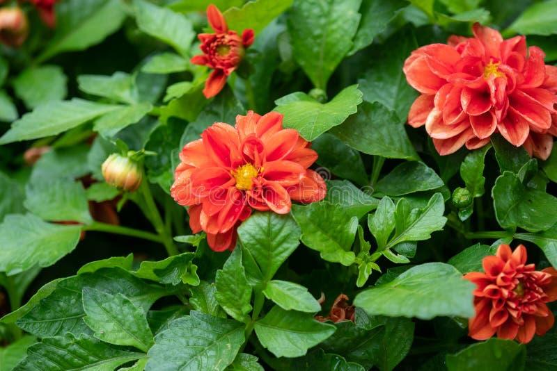 Fermez-vous vers le haut du beau dahlia rouge dans le jardin image stock