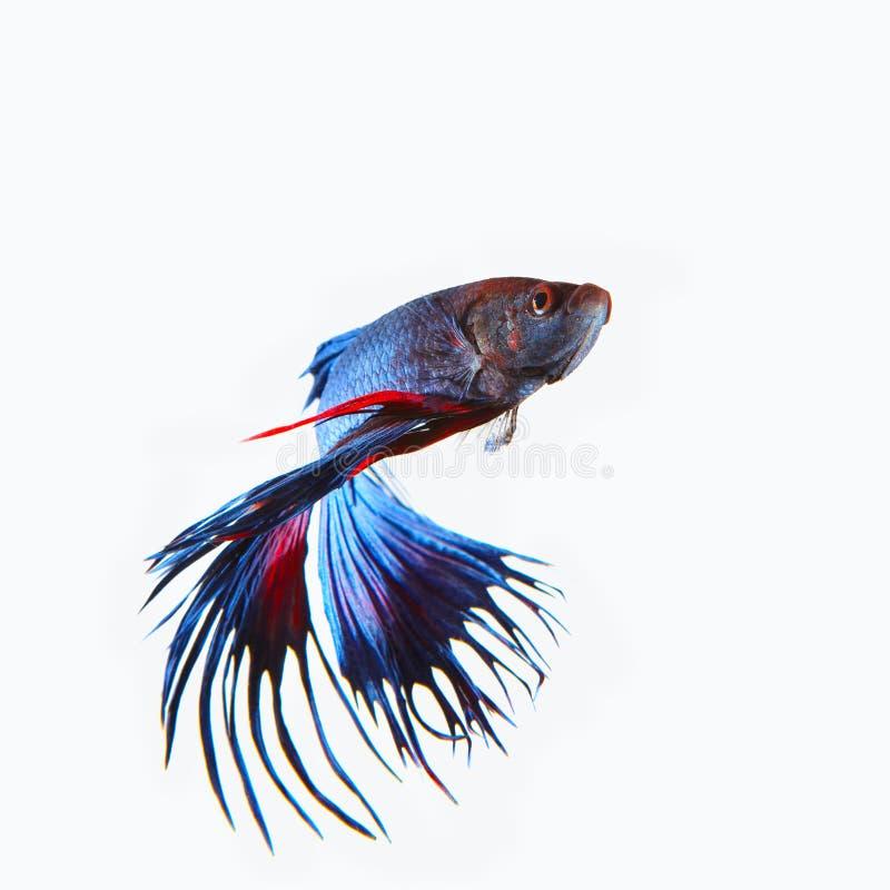 Fermez-vous vers le haut du betta de combat W d'isolement par poissons de queue bleue siamoise de couronne image libre de droits